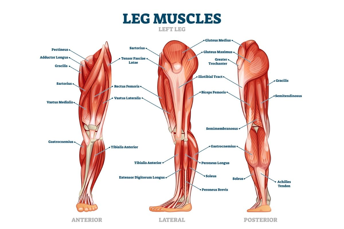 anatomy of the leg muscles