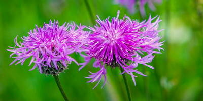 Milk Thistle and Liver function